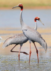 Sarus Cranes Gulf of Carpentaria