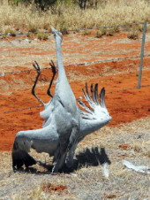 Brolga killed on fence