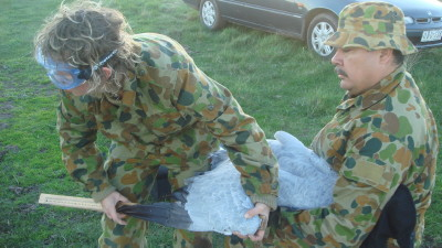 Measuring Brolga