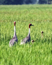 Sarus family in rice
