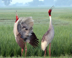 Sarus pair duet in rice