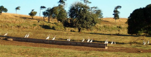 Sarus Cranes and cattle trough