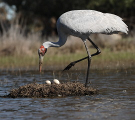 Brolga turning eggs
