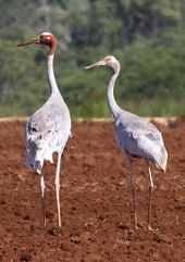 Sarus Crane with young