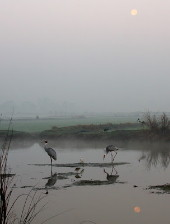 Sarus Cranes in moonlight