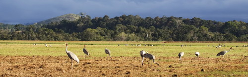 Cranes on ploughed field