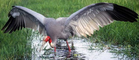 Sarus Crane in rice field