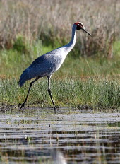 Brolga, Winter Swamp